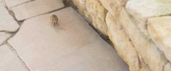 Maus auf der Flucht. Foto: Hufner