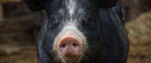 Schweine können nichts dafür. Foto: Hufner
