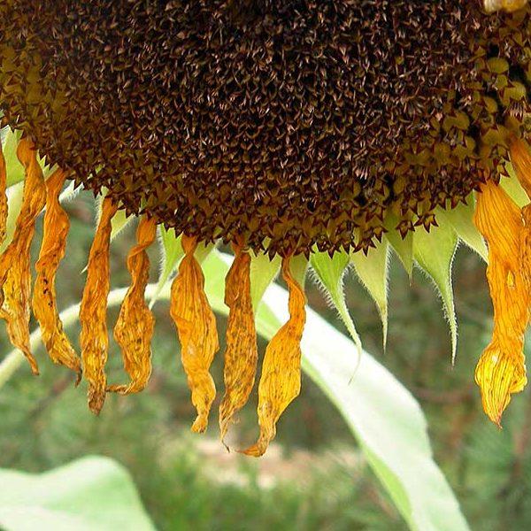 Im botanischen Vorgarten von Regensburg. Kunstblume der Sonne. Foto: Hufner